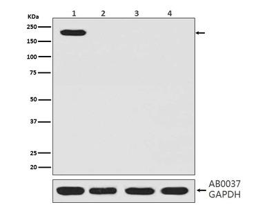 Anti-CRISPR-Cas9 SP Rabbit Monoclonal Antibody