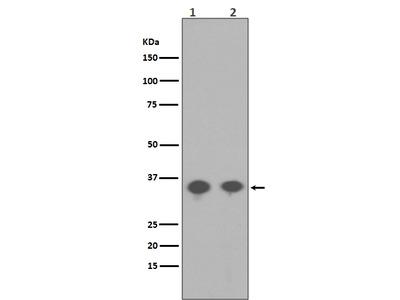 Anti-Phospho-PP2A alpha (Y307) Rabbit Monoclonal Antibody