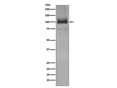 Anti-mGluR1 Rabbit Monoclonal Antibody