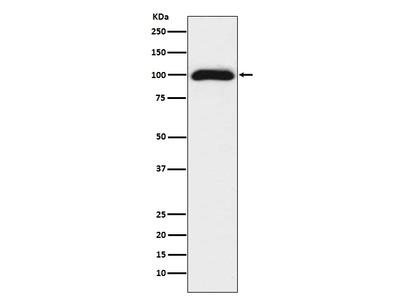 Anti-CD276/B7 H3 Rabbit Monoclonal Antibody
