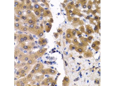Anti-ID3 Antibody
