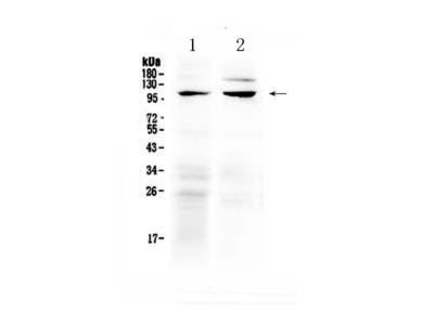 Anti-TRPC6 Picoband Antibody
