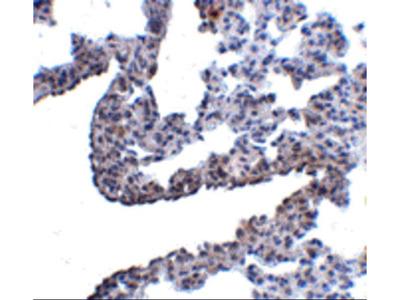 Anti-Protocadherin-12 PCDH12 Antibody