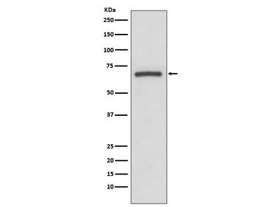 Anti-COX1 PTGS1 Rabbit Monoclonal Antibody