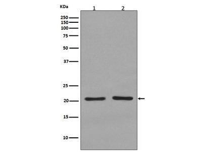 Anti-KRAS+HRAS+NRAS Rabbit Monoclonal Antibody