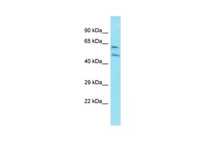Anti-Cyclin-I CCNI Antibody