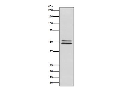 Anti-NeuN Rabbit Monoclonal Antibody