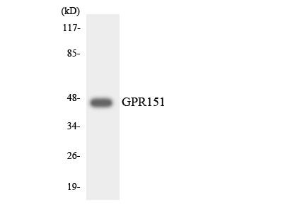 Anti-GPR151/Gpcr 2037 Antibody