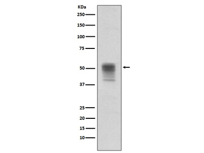 Anti-Phospho-alpha Tubulin (Y272) Rabbit Monoclonal Antibody