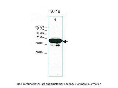 Anti-TAF1B Antibody