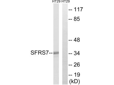 Anti-SFRS7 Antibody