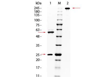 Anti-AKT Monoclonal Antibody