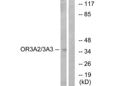 Anti-OR3A2/3 Antibody