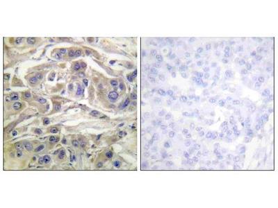 Anti-RapGEF1/Grf2 Antibody