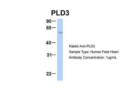 Anti-PC-PLD3 Antibody