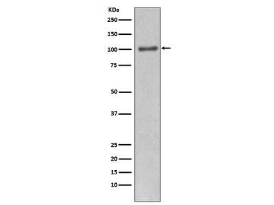 Anti-PI 3 kinase p110 alpha Monoclonal Antibody