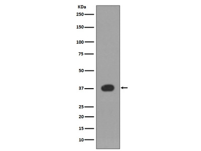 Anti-p38 Rabbit Monoclonal Antibody