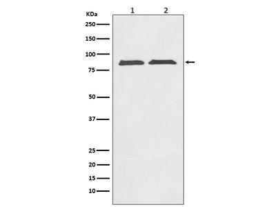 Anti-Axin2/Conductin Rabbit Monoclonal Antibody