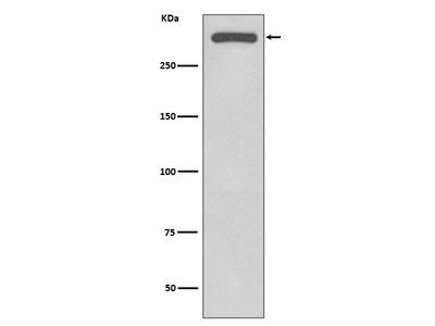 Anti-DNA-PKcs Rabbit Monoclonal Antibody