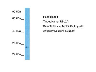 Anti-RBL2A Antibody