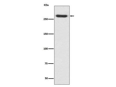 Anti-NG2 Rabbit Monoclonal Antibody