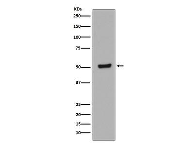 Anti-Phospho-p53 (T55) Rabbit Monoclonal Antibody