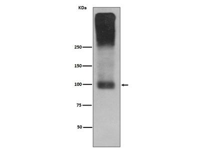 Anti-mGluR2 Rabbit Monoclonal Antibody