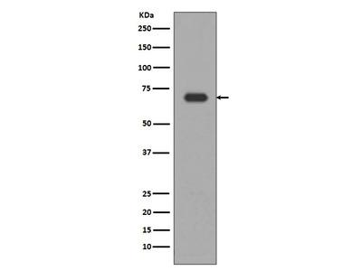 Anti-Alas1/Alas H Rabbit Monoclonal Antibody
