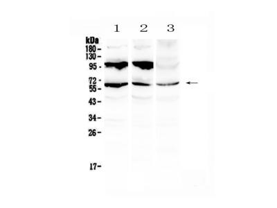 Anti-Perilipin A/PLIN1 Antibody Picoband