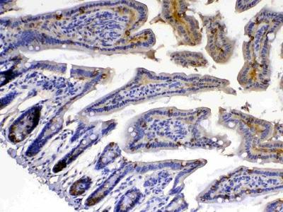 Anti-Xanthine Oxidase Picoband Antibody