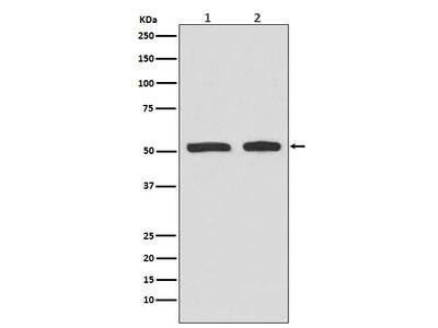 Anti-Phospho-p53 (S9) Rabbit Monoclonal Antibody