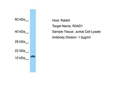 Anti-RIIAD1 Antibody
