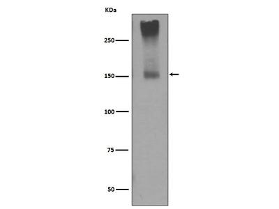 Anti-GRM5/Mglur5 Rabbit Monoclonal Antibody