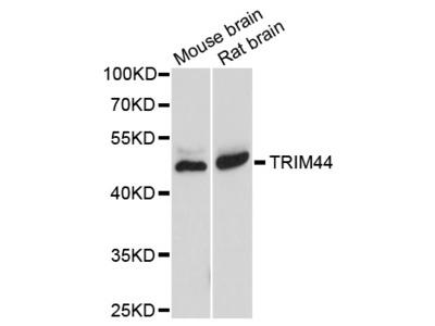 Anti-TRIM44 Antibody