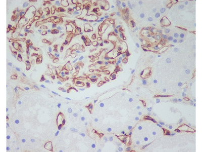 Anti-CD34 Rabbit Monoclonal Antibody