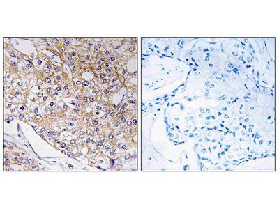 Anti-TRAPPC1/Bet5 Antibody