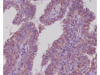 Anti-Sodium Potassium ATPase Rabbit Monoclonal Antibody