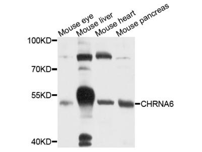 Anti-CHRNA6 Antibody
