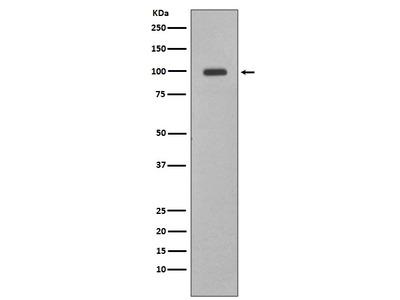 Anti-Nrf2 Rabbit Monoclonal Antibody