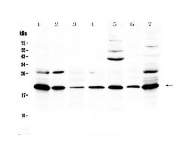 Anti-Macrophage Inflammatory Protein 3 beta/Ccl19 Antibody Picoband