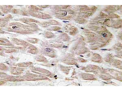 Anti-Defensin alpha4 Antibody