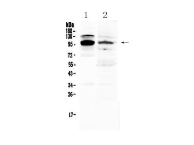 Anti-NFAT2/NFATC1 Picoband Antibody