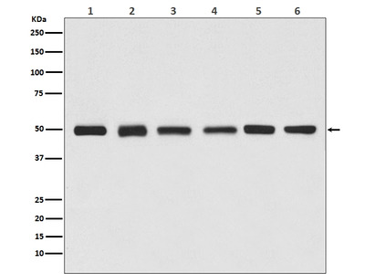 Anti-beta Tubulin Rabbit Monoclonal Antibody, HRP Conjugated