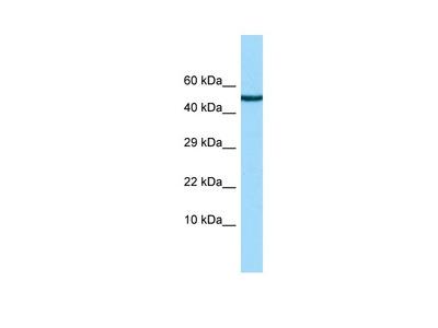Anti-CRDL2 CHRDL2 Antibody