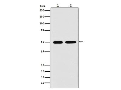 Anti-LOX Rabbit Monoclonal Antibody