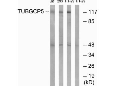 Anti-TUBGCP5/Gcp5 Antibody