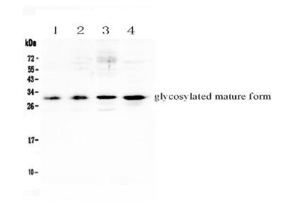 Anti-IL17F Picoband Antibody