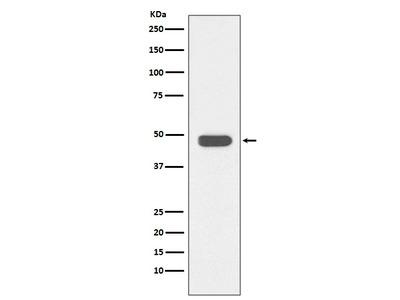 Anti-IKB beta Rabbit Monoclonal Antibody