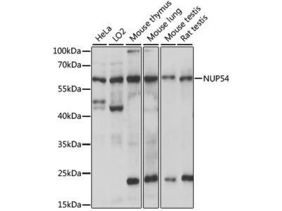 Anti-Nucleoporin p54 NUP54 Antibody