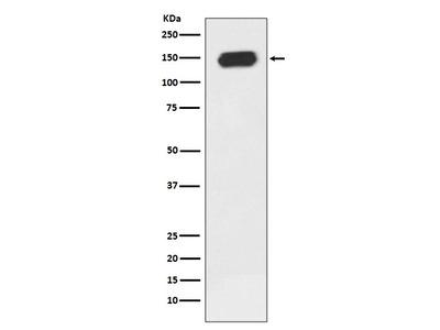 Anti-PLCG1/Plc Gamma 1 Rabbit Monoclonal Antibody